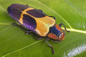 A colorful beetle