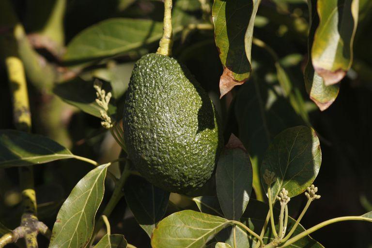 Avocados, Pauma Valley, California