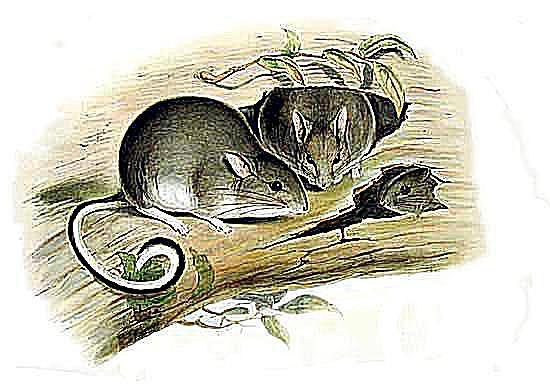 white footed rabbit rat