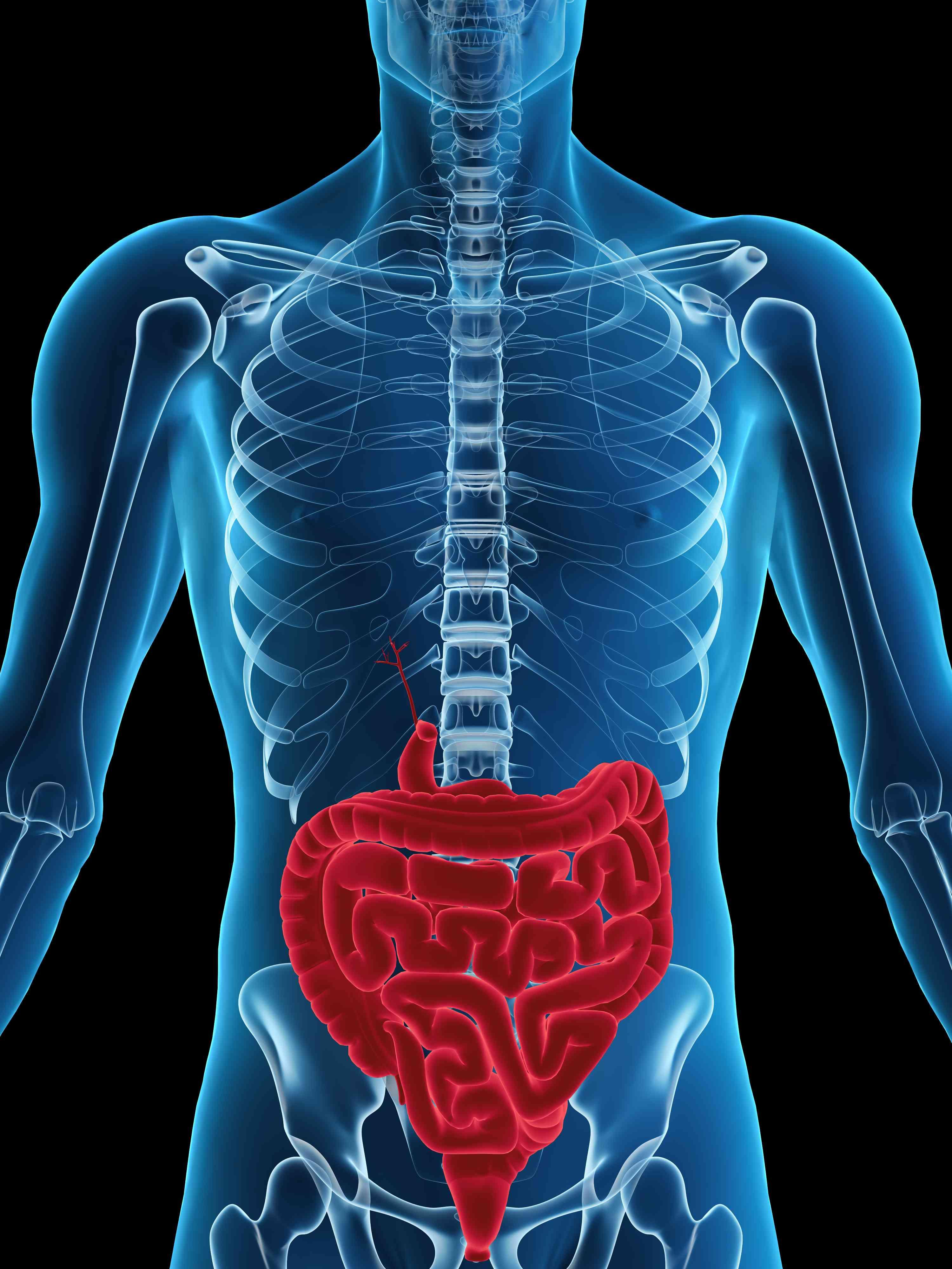 Digital illustration of the human digestive system
