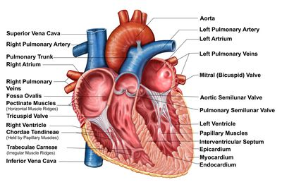 Pericardiumanatomy and function the layers of the heart wall ccuart Image collections