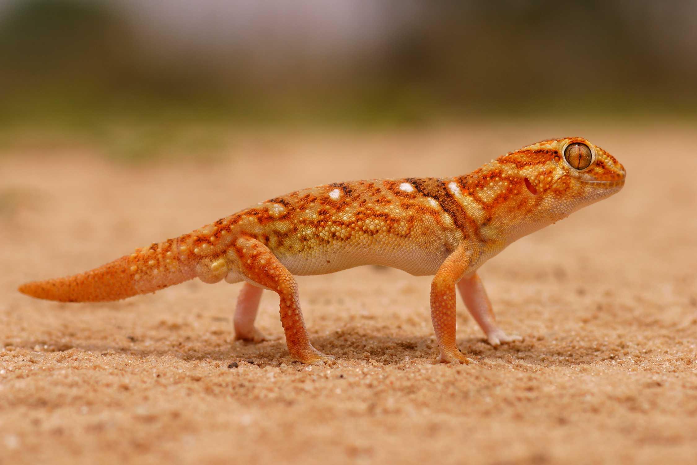 Giant ground gecko - Chondrodactylus angulifer
