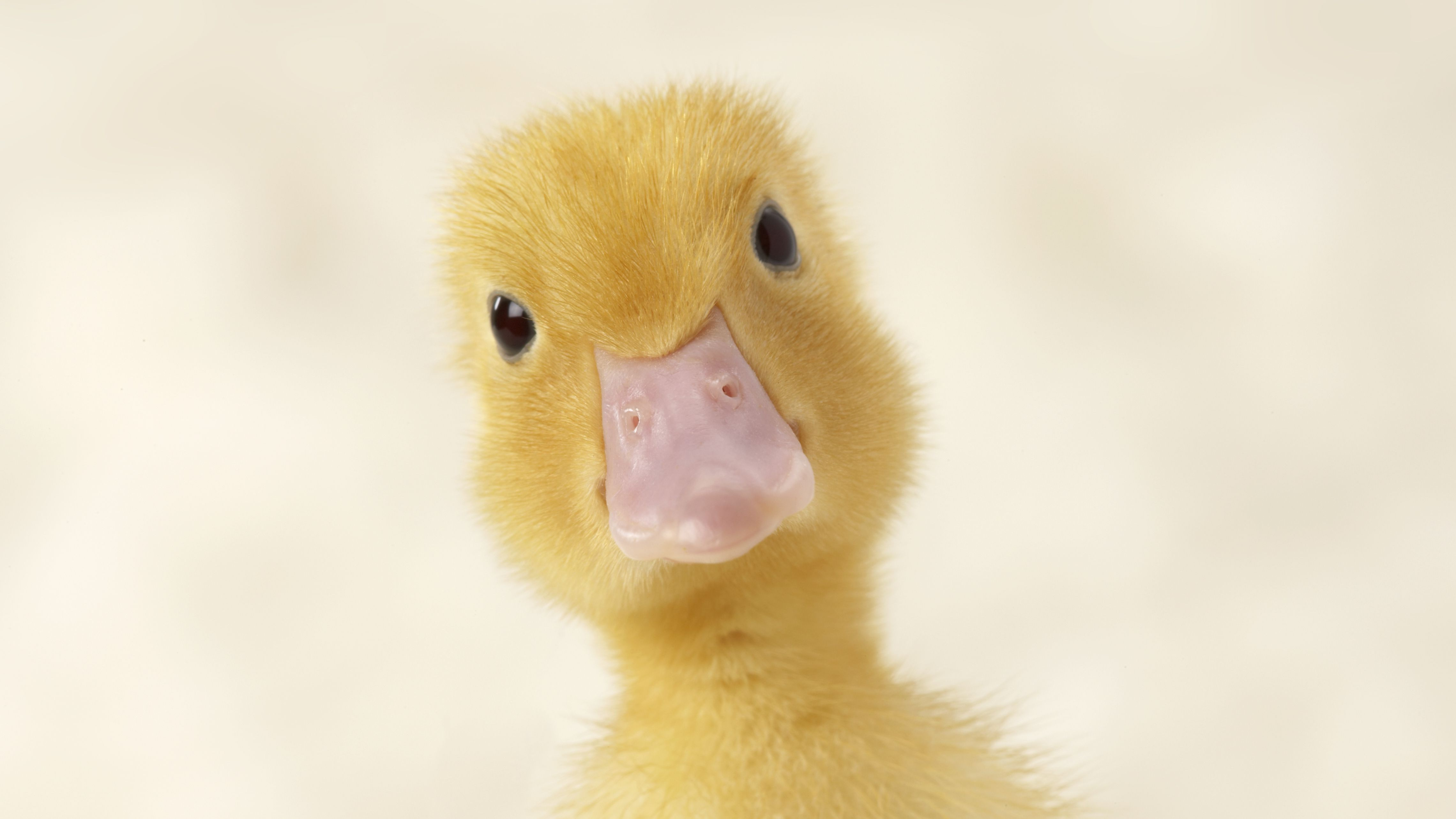 duckling-close-up-500315849-572917c93df7