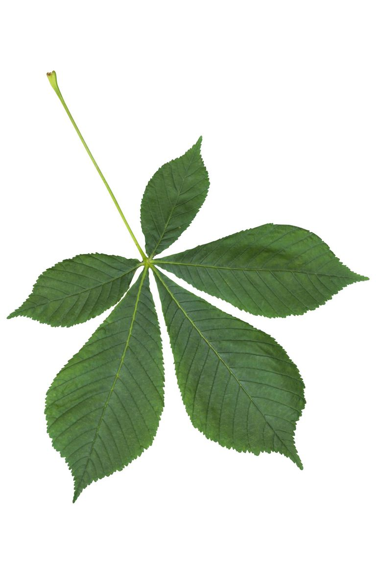 Chestnut leaf with clipping path Chestnut