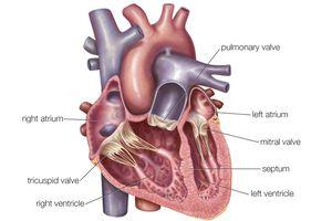 Interior heart anatomy