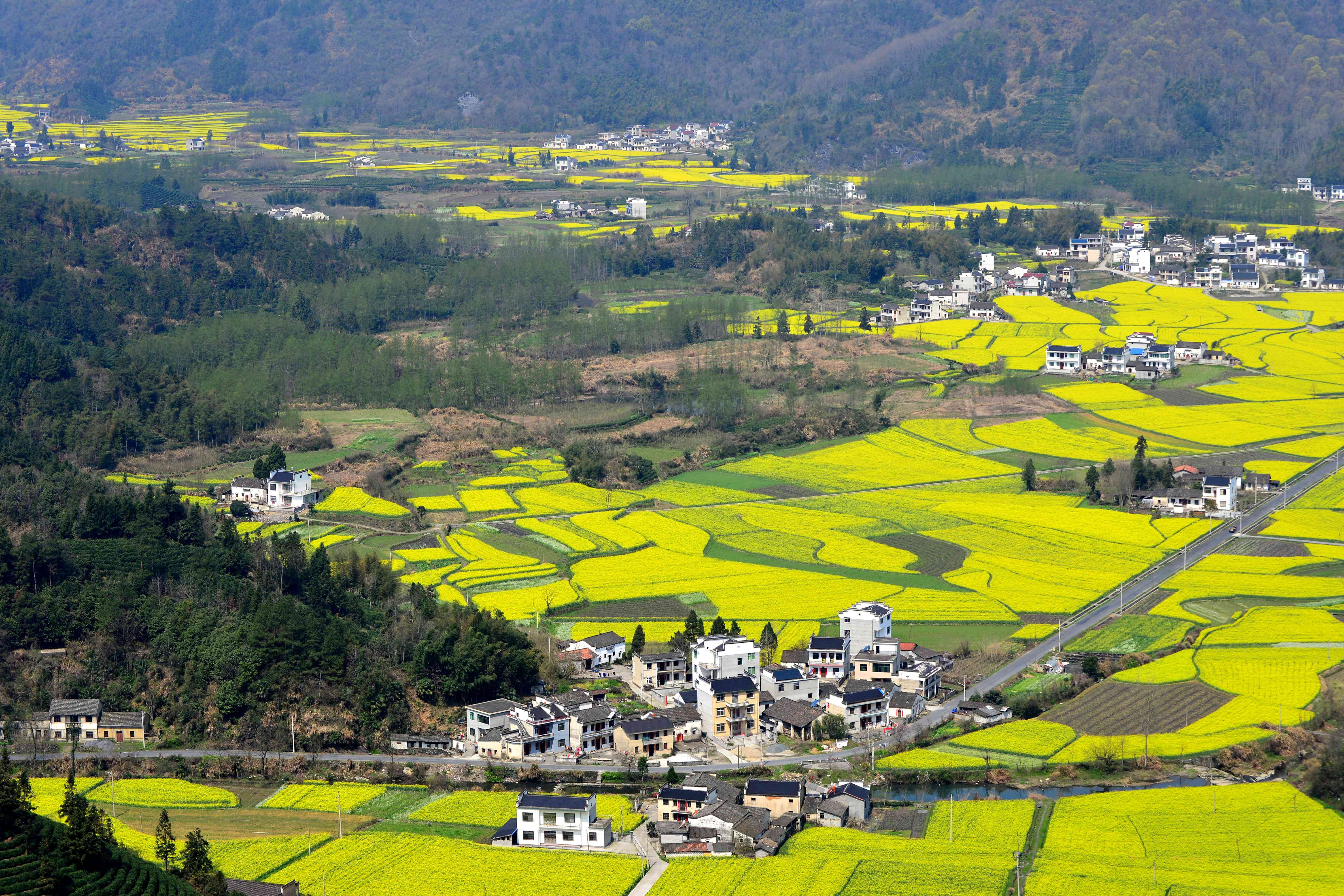 Fields of bright yellow rapeseed flowers color the Jiangxi landscape