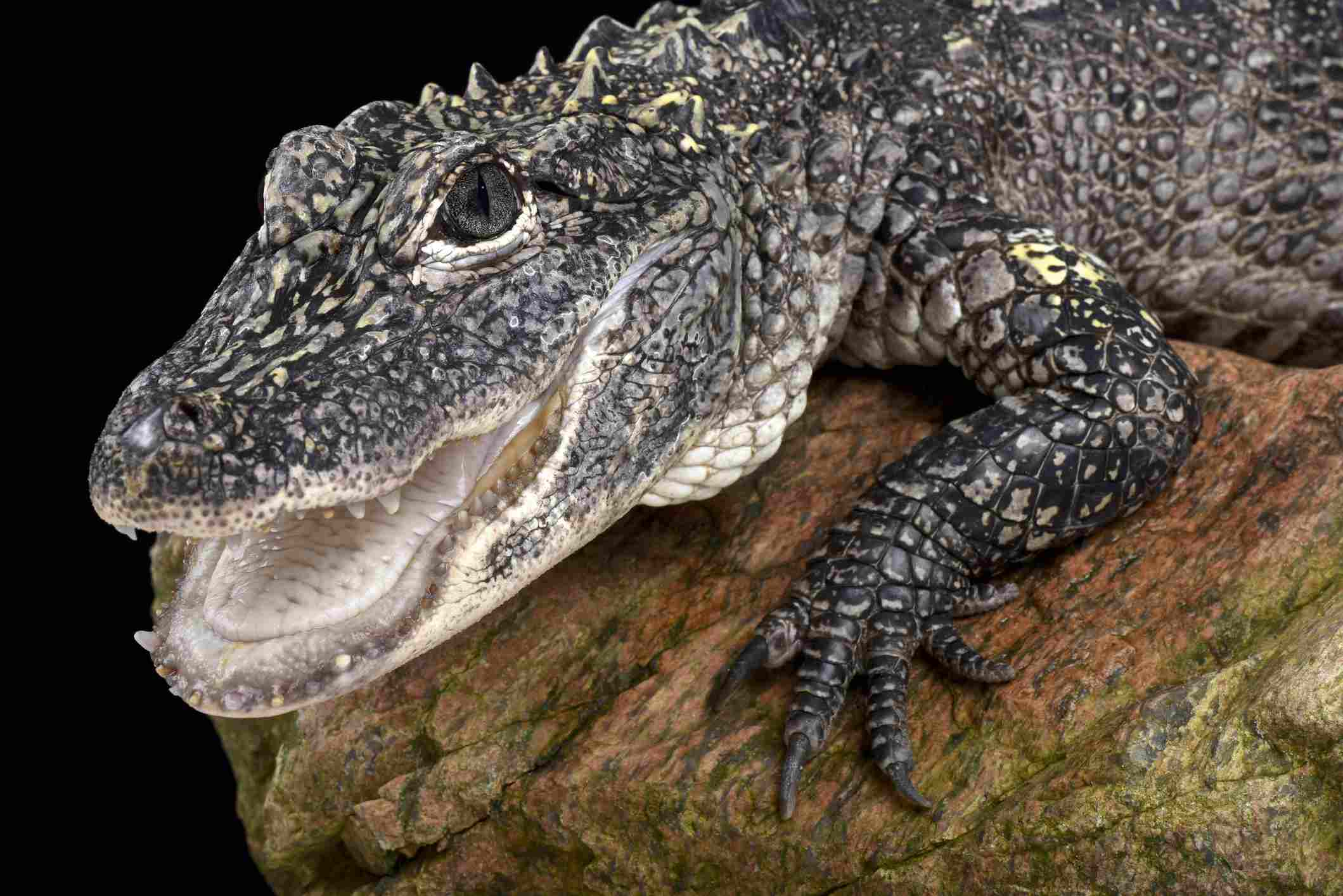 The Chinese alligator is critically endangered in the wild.