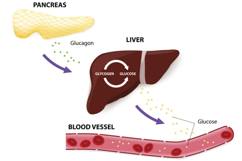 Exocytosis Pancreas