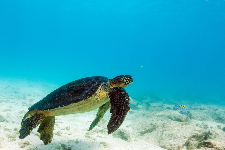 Green turtle swimming underwater.