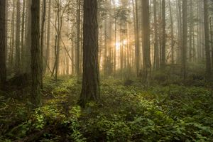 Pacific Northwest Forest on a Foggy Morning