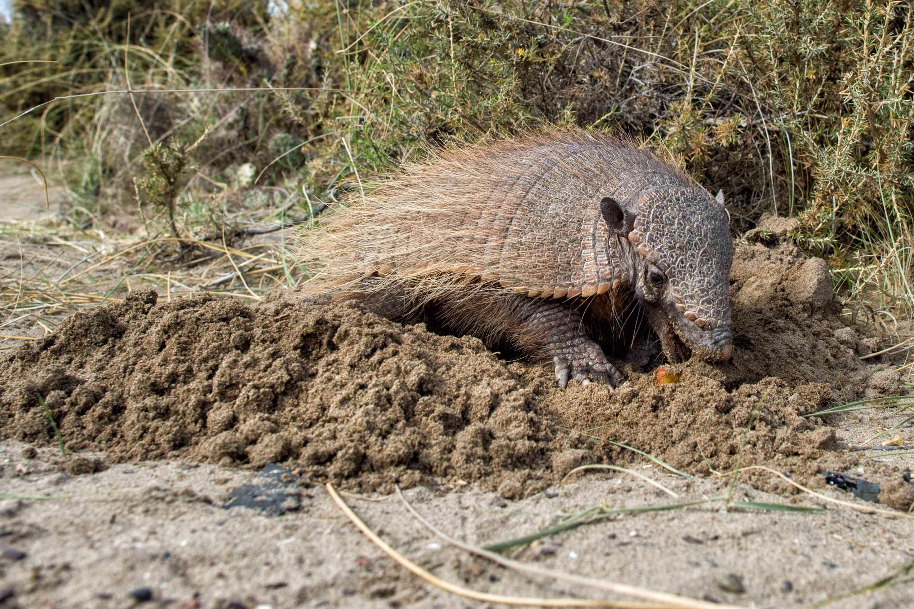 An armadillo digging