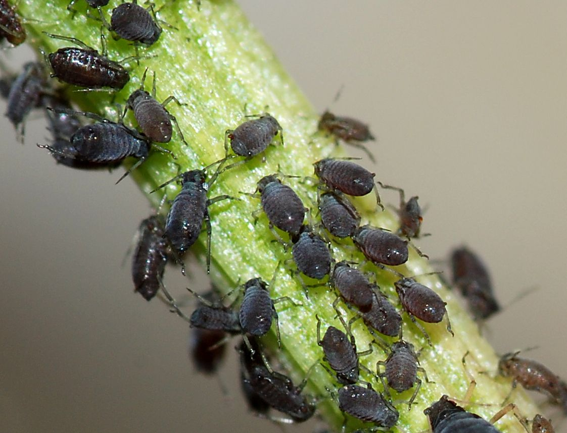 black bean aphids