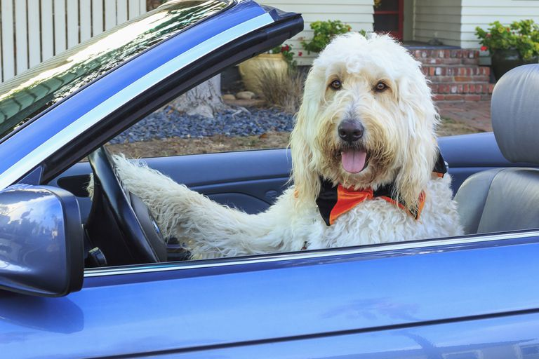 Dog sitting in driver's seat of car