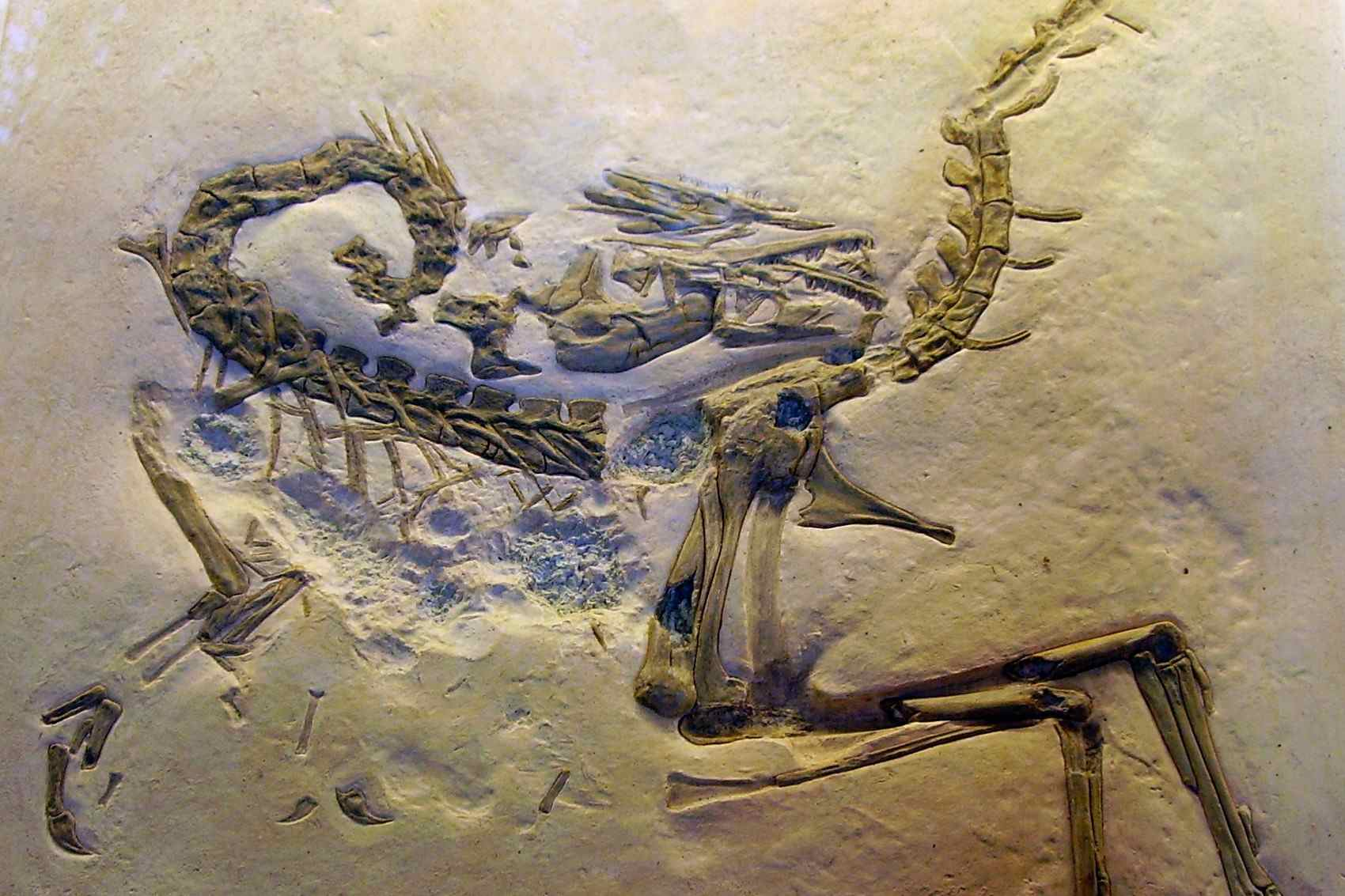 A cast of a compsognathus fossil