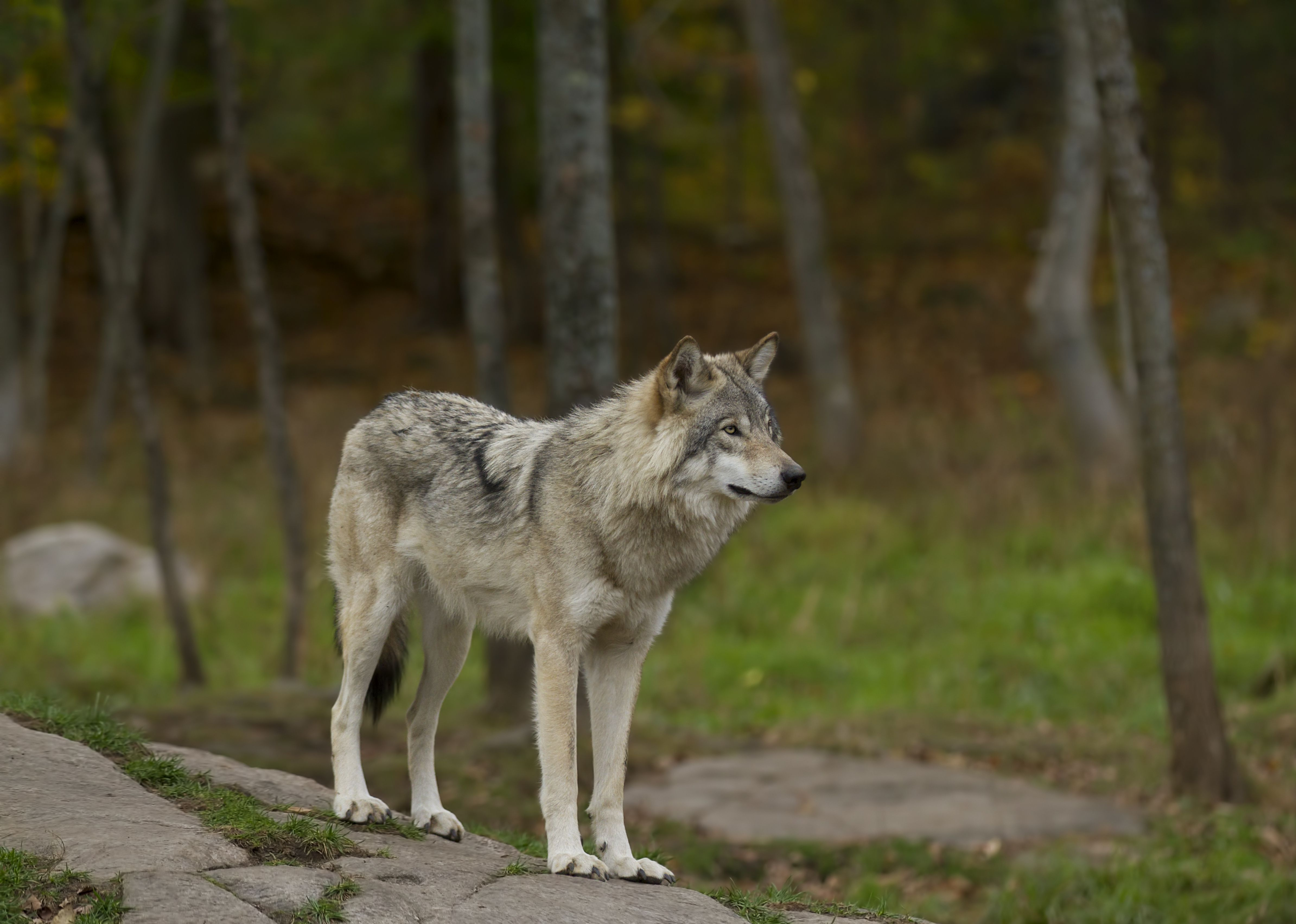 Timber wolf (Canis lupus) standing on a rocky cliff on an autumn day in Canada