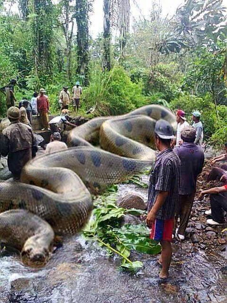 Is This Anaconda The World S Biggest Snake