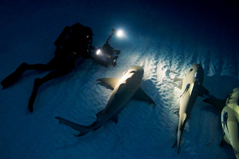Lemon sharks resting on the ocean bottom