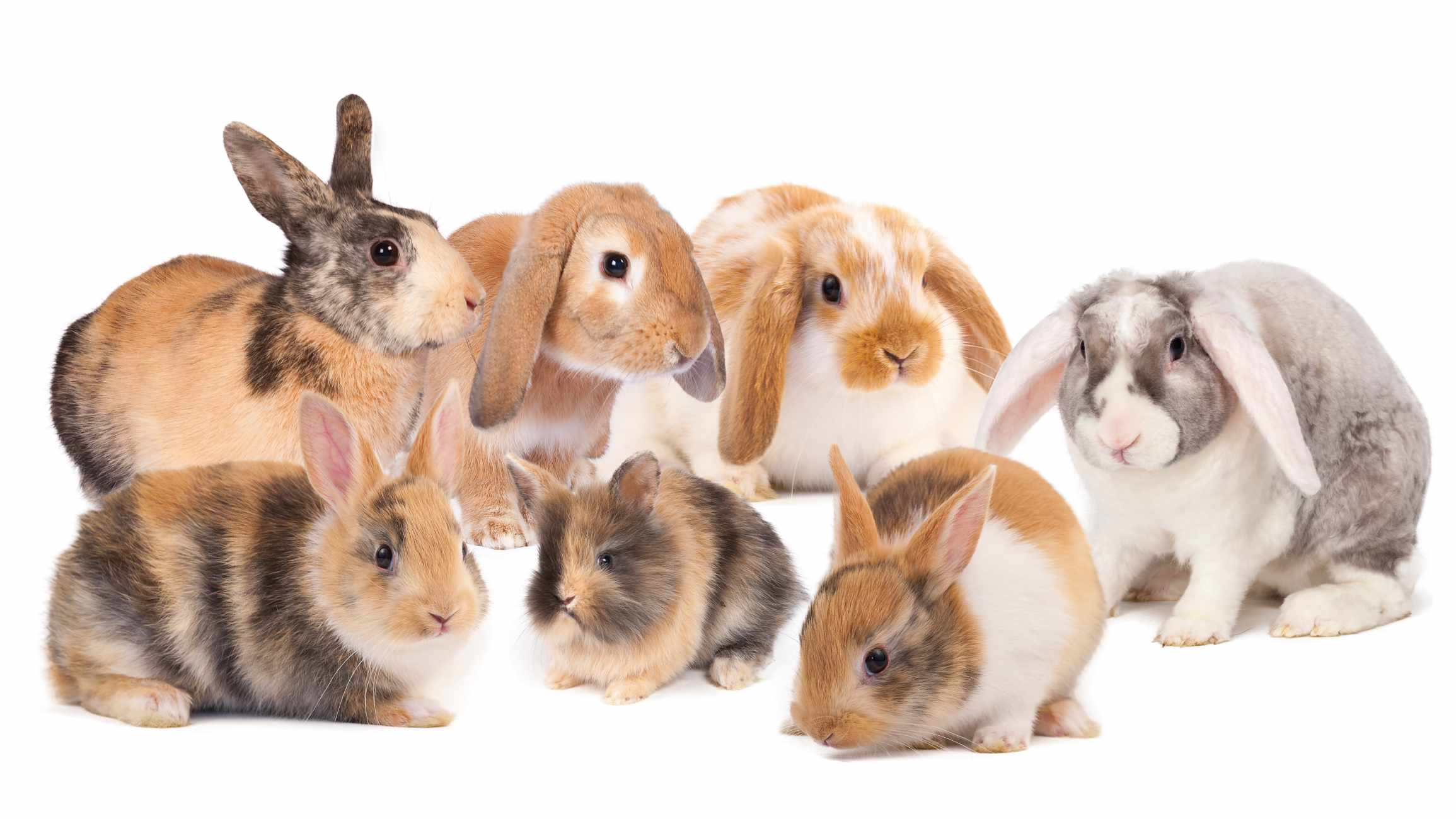 Rabbit fur color is an example of incomplete dominance