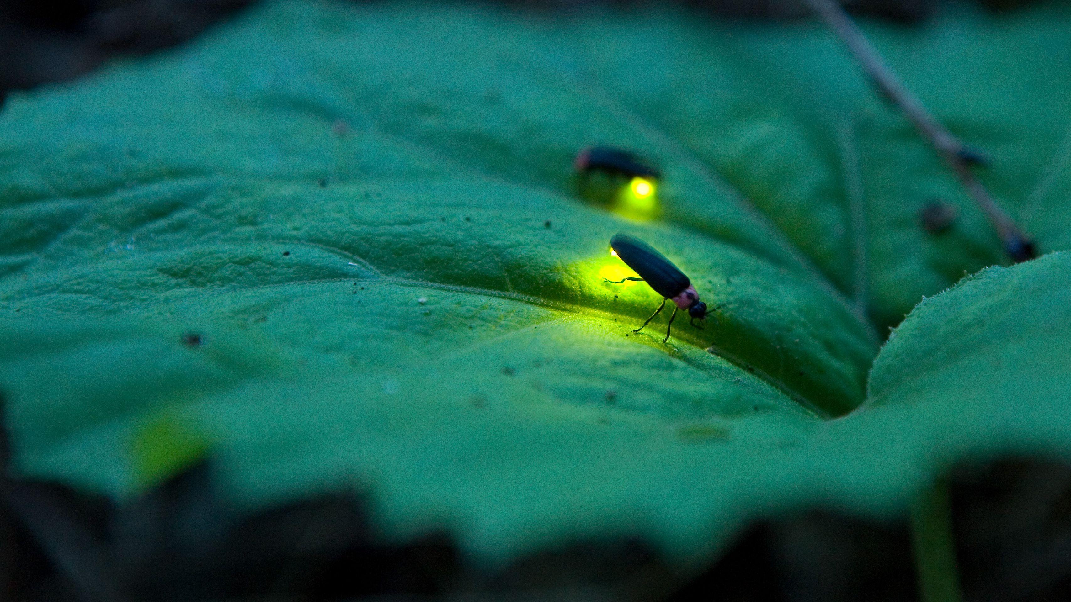 Life Cycle of Fireflies and Lightning Bugs