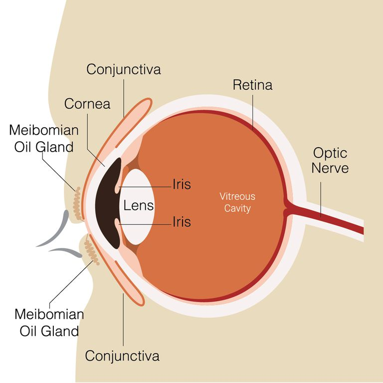 How the human eye works structure and function parts of the human eye ccuart