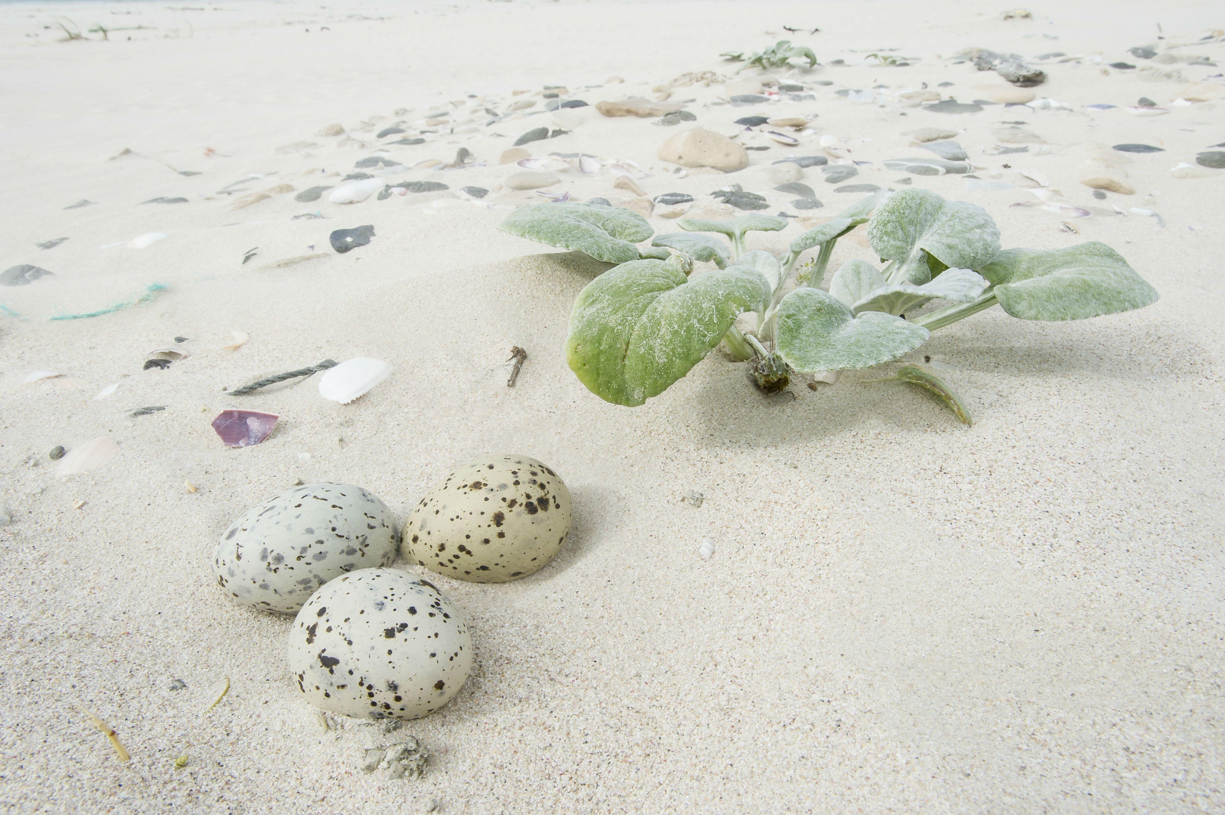 Caspian tern scrape nest