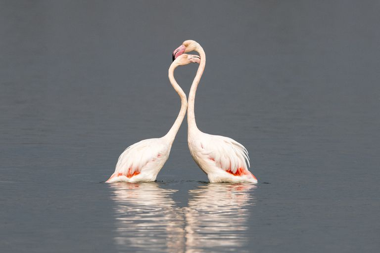 African flamingos interacting