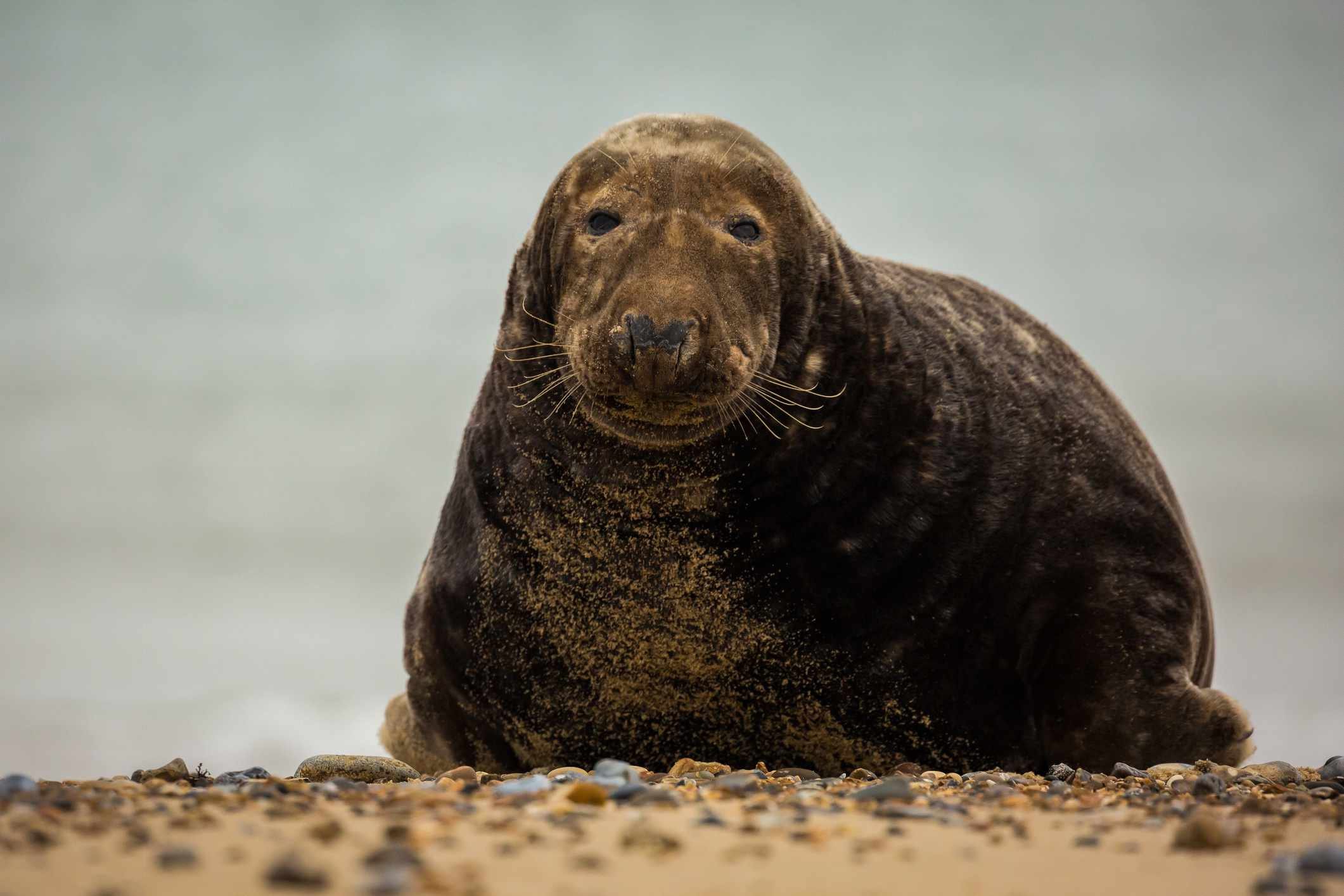 Red Bull Distribution >> Gray Seal Facts (Halichoerus grypus)
