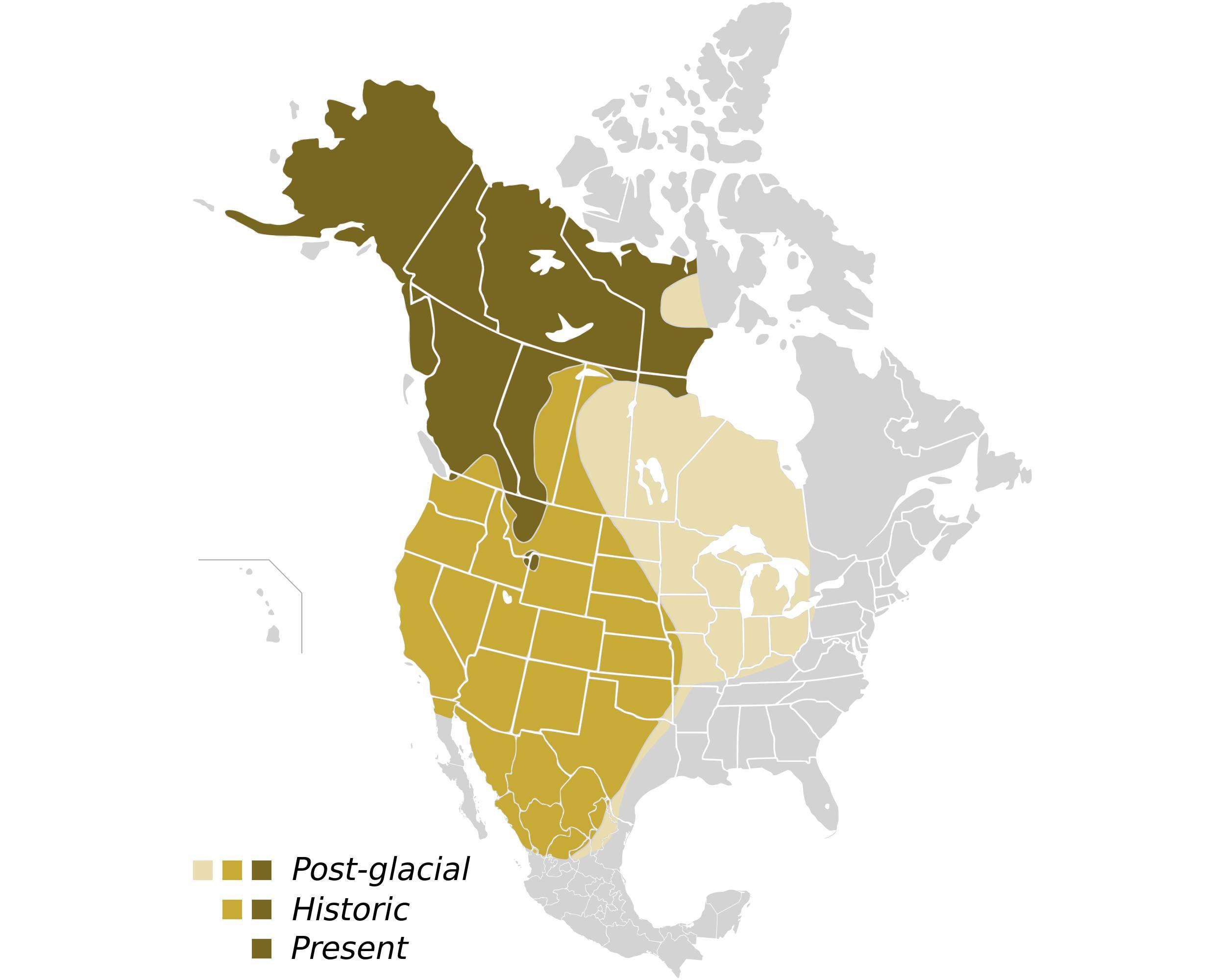 Grizzly Bear Facts (Ursus arctos horribilis)