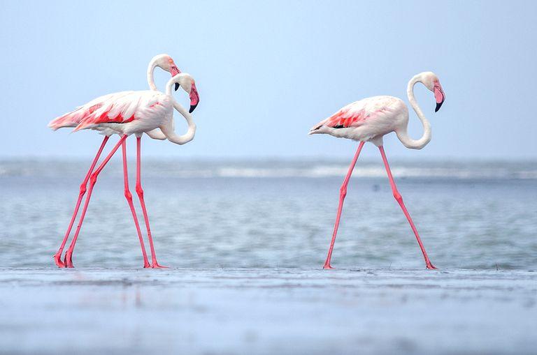 Flamingos at a beach in India