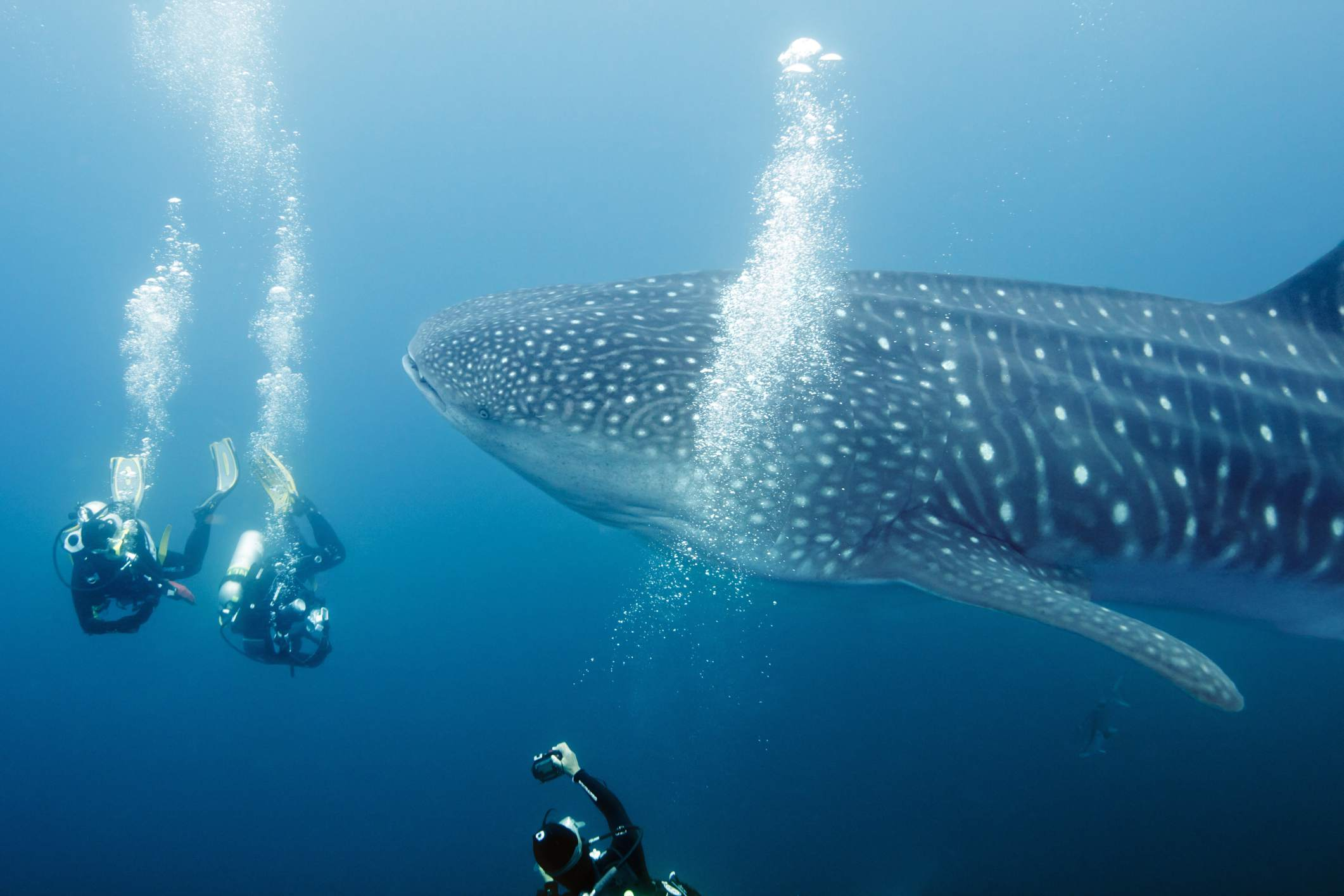 Three divers photographing whale shark