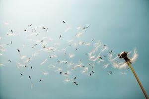 Dandelion (Taraxacum) in the wind