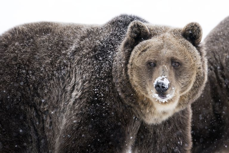 Lighter fur tips give the grizzly bear its grizzled appearance.