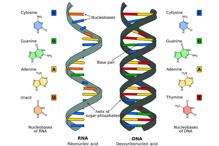 the differences between dna and rna. Black Bedroom Furniture Sets. Home Design Ideas