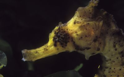 Facts About The Longsnout Or Slender Seahorse