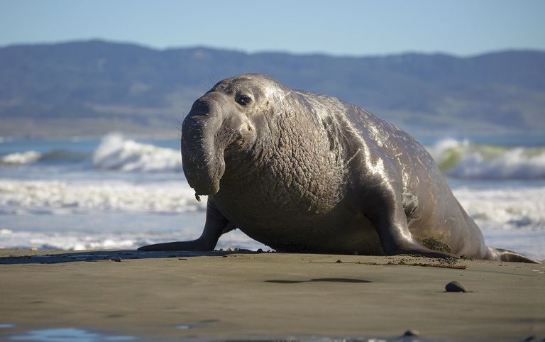 Bilderesultat for elephant seals