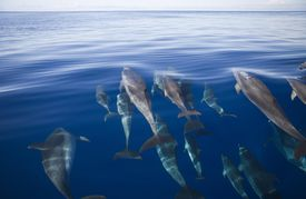 Atlantic spotted dolphins, Stenella frontalis