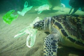sea turtle trying to eat plastic bag underwater