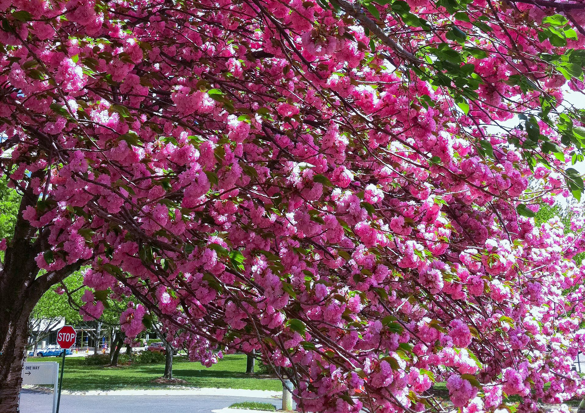 Kwanzan Cherry Tree Profile And Care Instructions