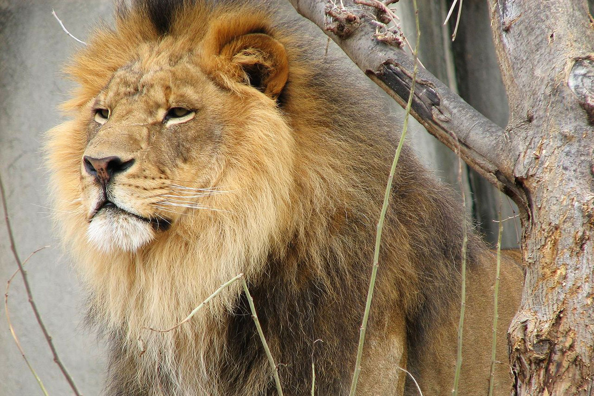 Lion with full mane looking into the distance.
