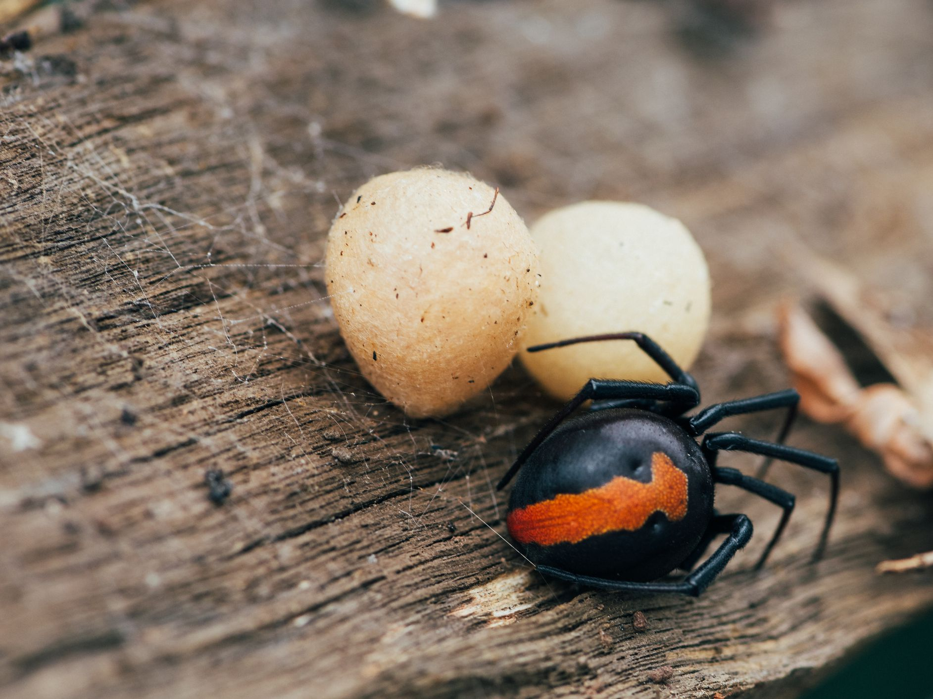 Redback Spider Facts