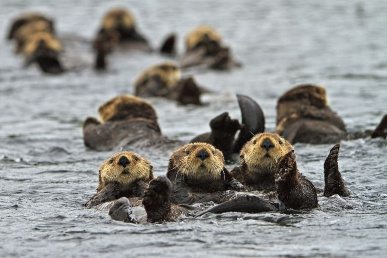 The sea otter belongs to the weasel family.
