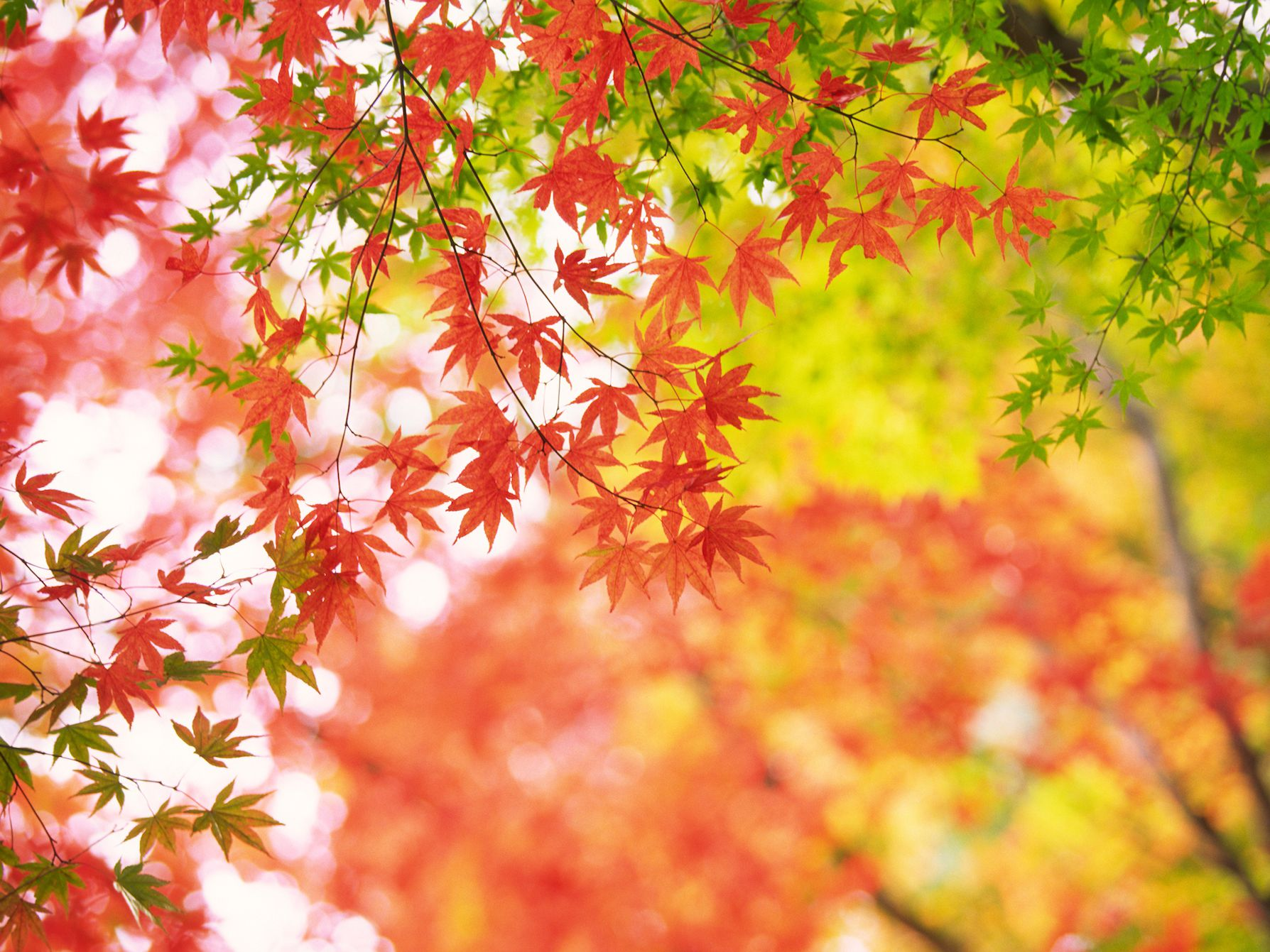 Why Some Red Japanese Maples Have Green Leaves