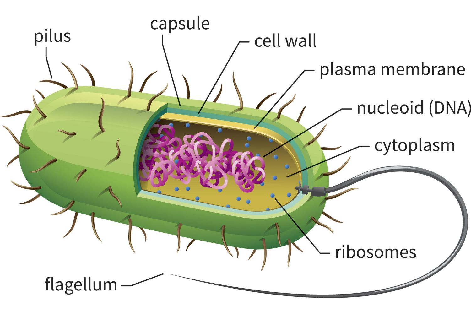 Prokaryotic Cells Structure Function And Definition Simple Plant Diagram Cell Basic Bacterial