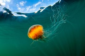 This lion's mane jellyfish is an example of an invertebrate.