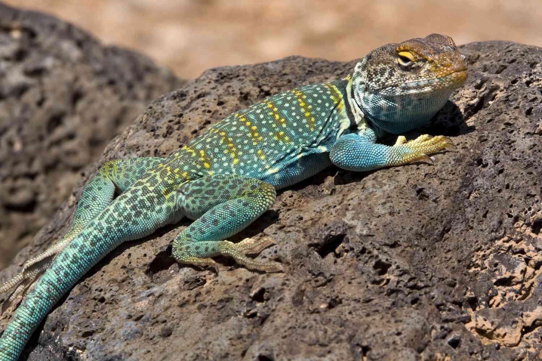 Collared Lizard on a rock