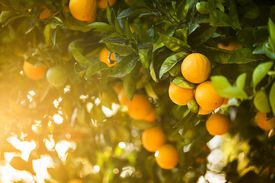 Fresh fruit grows on the orchard grove in California, USA.