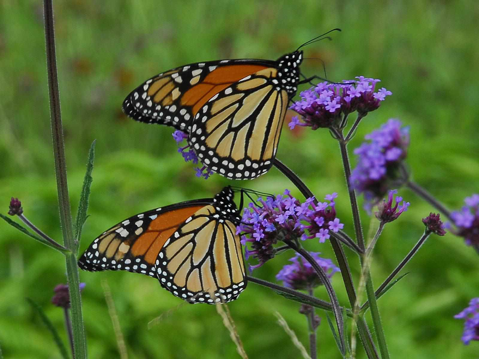 Monarchs on other continents don't migrate.