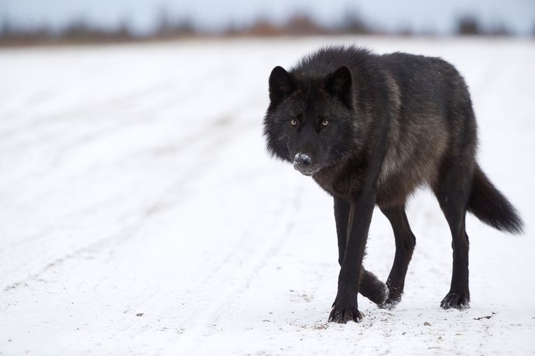 Black wolf walking forward on a snowy day