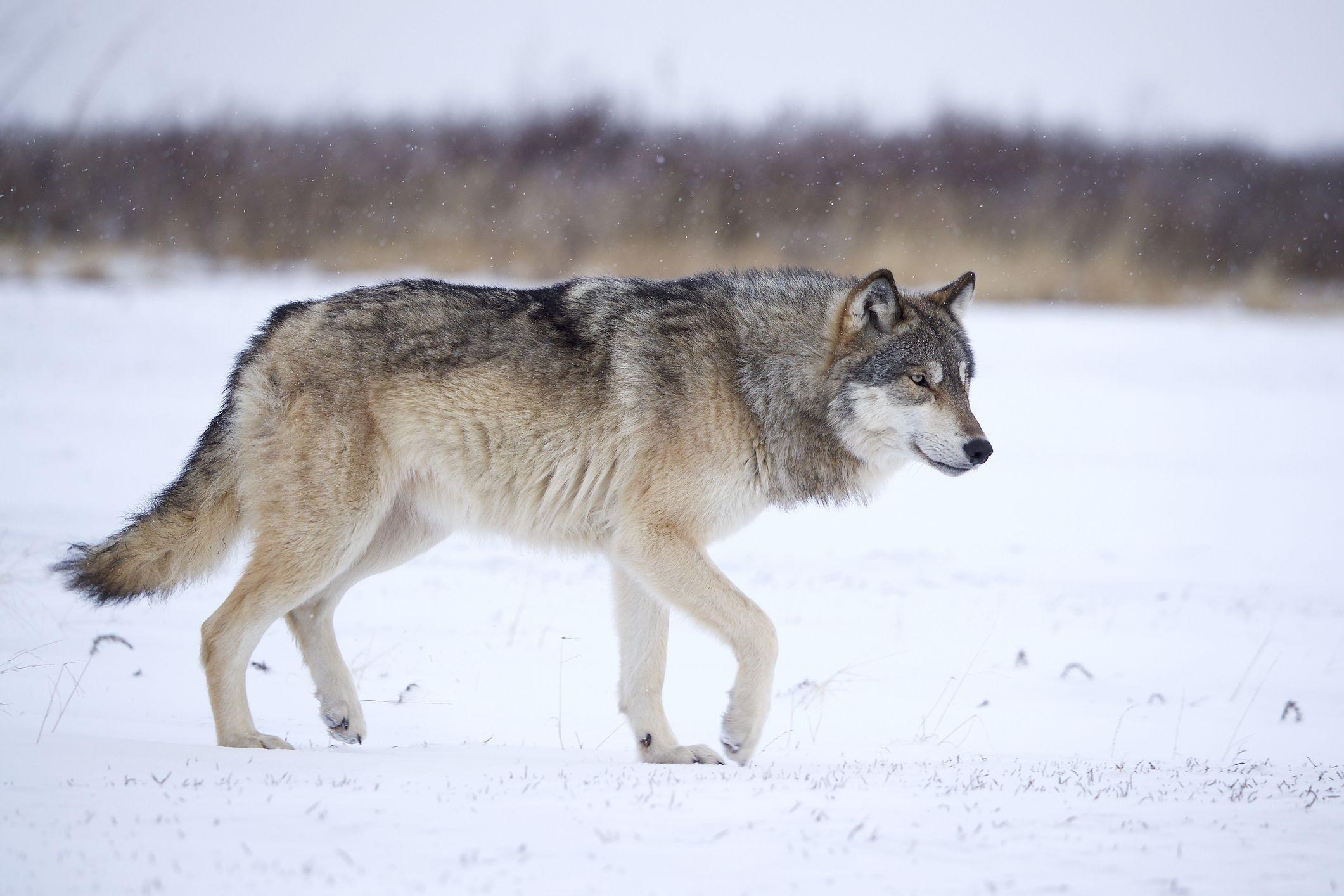Фото волка во весь рост картинки