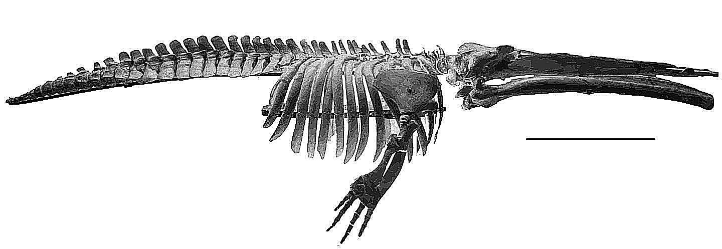 Cetotherium, a prehistoric whale of Maryland